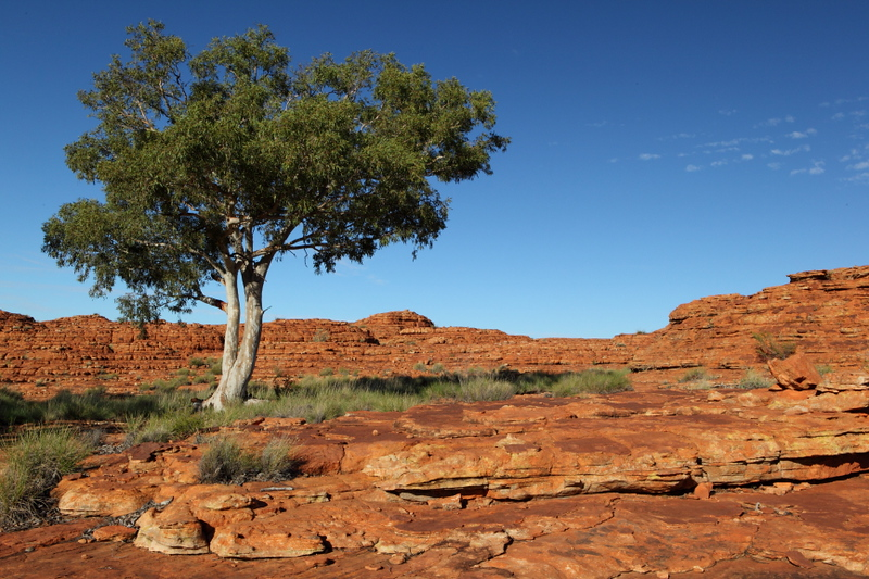 Ghost Gum at Kings Canyon