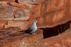 Diamond dove in it's best breeding attire, West Macdonnell National Park, Redbank Gorge area, NT