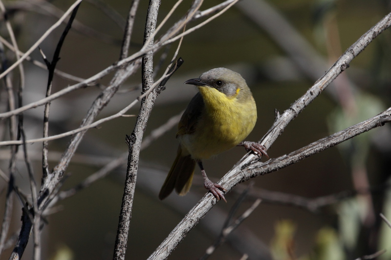 Grey headed honeyeater, out in numbers around Ormiston Gorge area, absolutely loving the holly acacia in flower