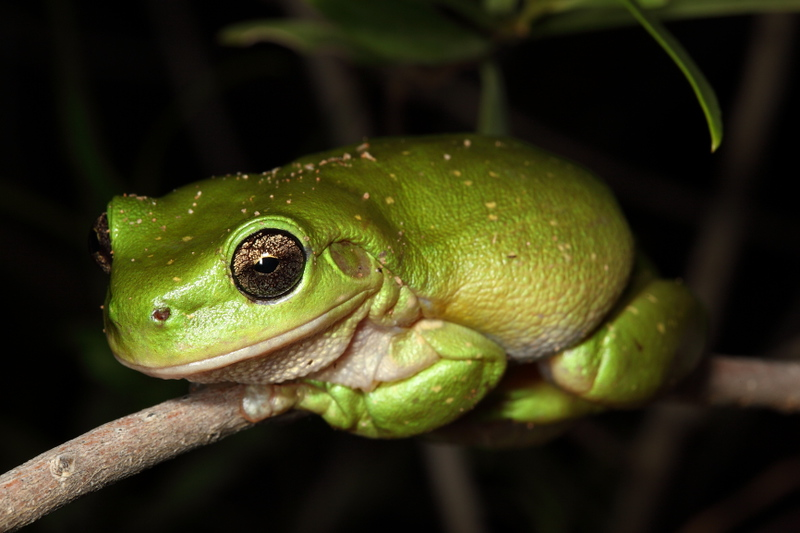 Centralian Tree Frog (Litoria gilleni). Only lives near permenant water, found at West Macdonnell National Park, Redbank Gorge area, NT