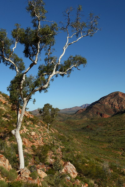 West Macdonnell National Park, Ghost gum
