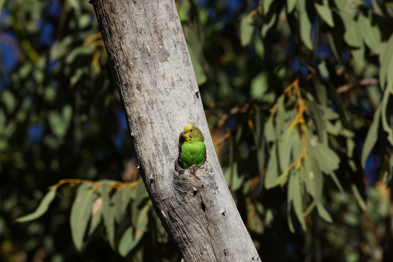 Budgie in a nesting hollow near Alice