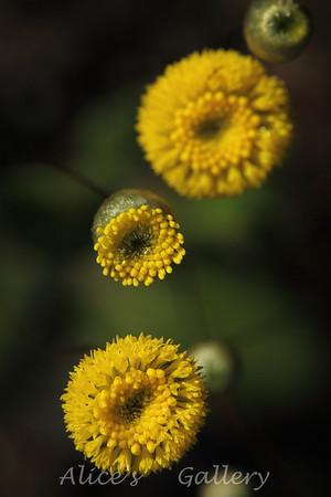 West-Australian Wildflowers