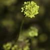 Cephalipterum drummondii (Pompom)