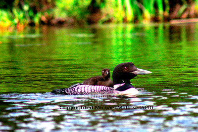 Mother Loon and Baby on Brule Lake in Northern Minnesota,  Client: Photography Stock Agency