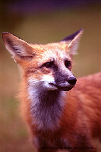 Red Fox Portrait, Northern Minnesota. Client: Photography Stock Agency