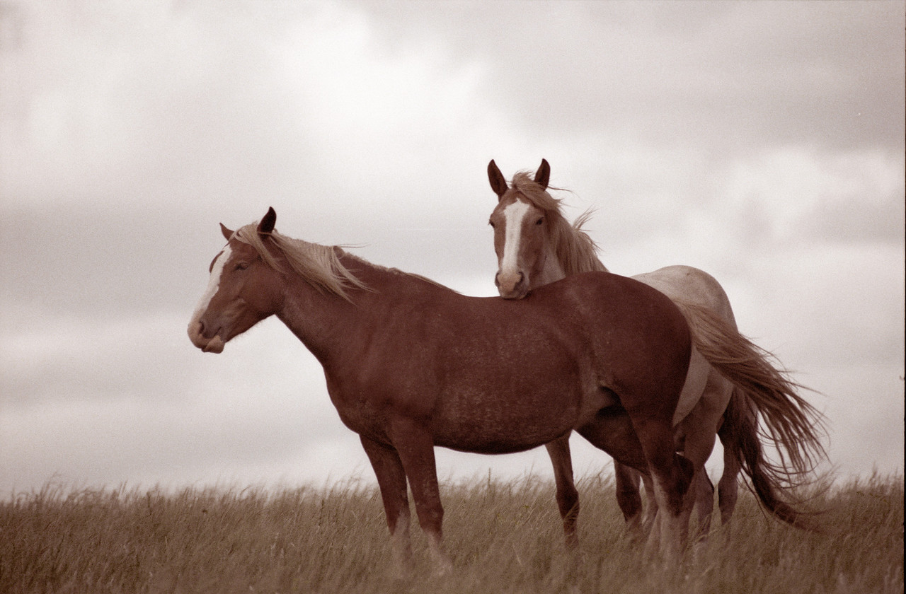 Wild Mustangs, Theodore Roosevelt National Park, North Dakota. Client: Stock Photography Agency.