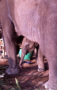 Baby Elephant and Mother Elephant, Koh Chang Island, Thailand. Clent: Photography Stock Agency