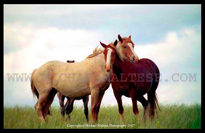 Wild Mustangs, Theodore Roosevelt National Park, North Dakota. Client:Stock Photography Agency.