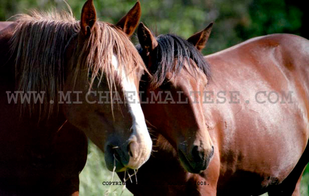 Wild Mustangs, Theodore Roosevelt National Park, North Dakota. Client: Photography Stock Agency.