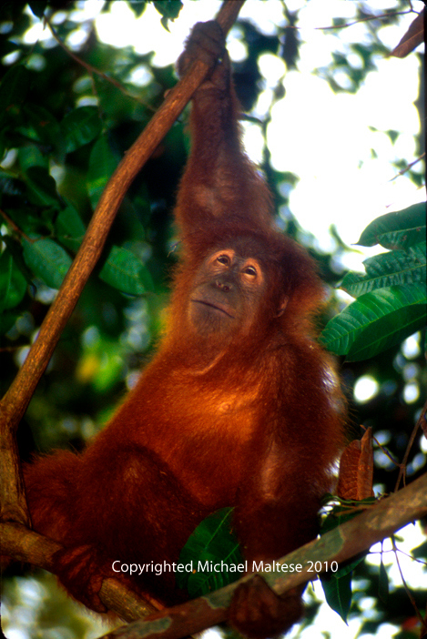 Young Male Orangutan in Gunung Leuser National Park. Bukit Lawang Indonesia. Client Photography Stock Agency.