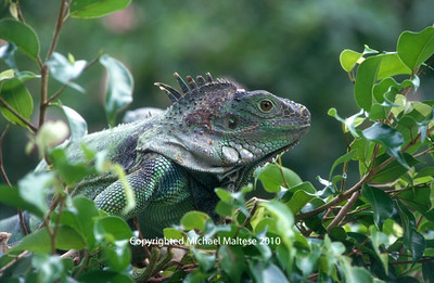 Iguana, Game Park, Boca Raton, Florida. Client: Stock Photography Agency.