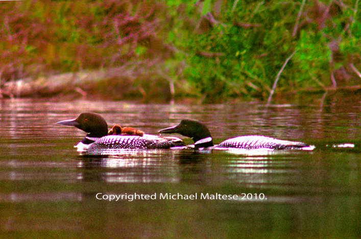 Family of Loons on Brule Lake in Northern Minnesota,  Client: Photography Stock Agency