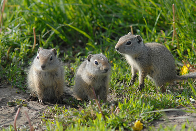 Ground Squirrel Family. Tetons Yellowstone National Park. Wyoming. Client: Stock Photography Agency.