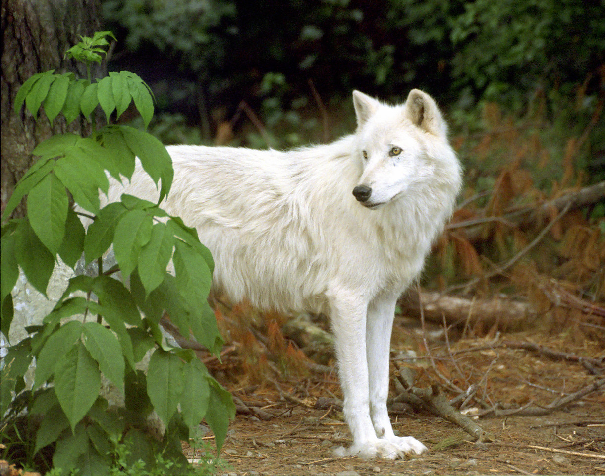 Arctic Wolf Male. International Wolf Center, Ely, Minnesota   Client: Stock Photography Agency