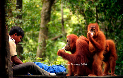 Family of Orangutans at Feeding Time in Gunung Leuser National Park. Bukit Lawang Indonesia. Client Photography Stock Agency.