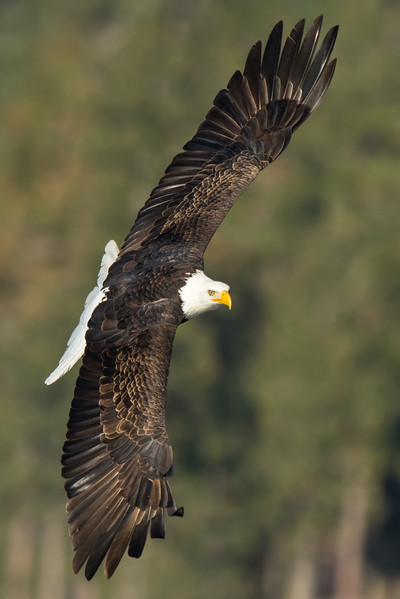Bald Eagle Spread