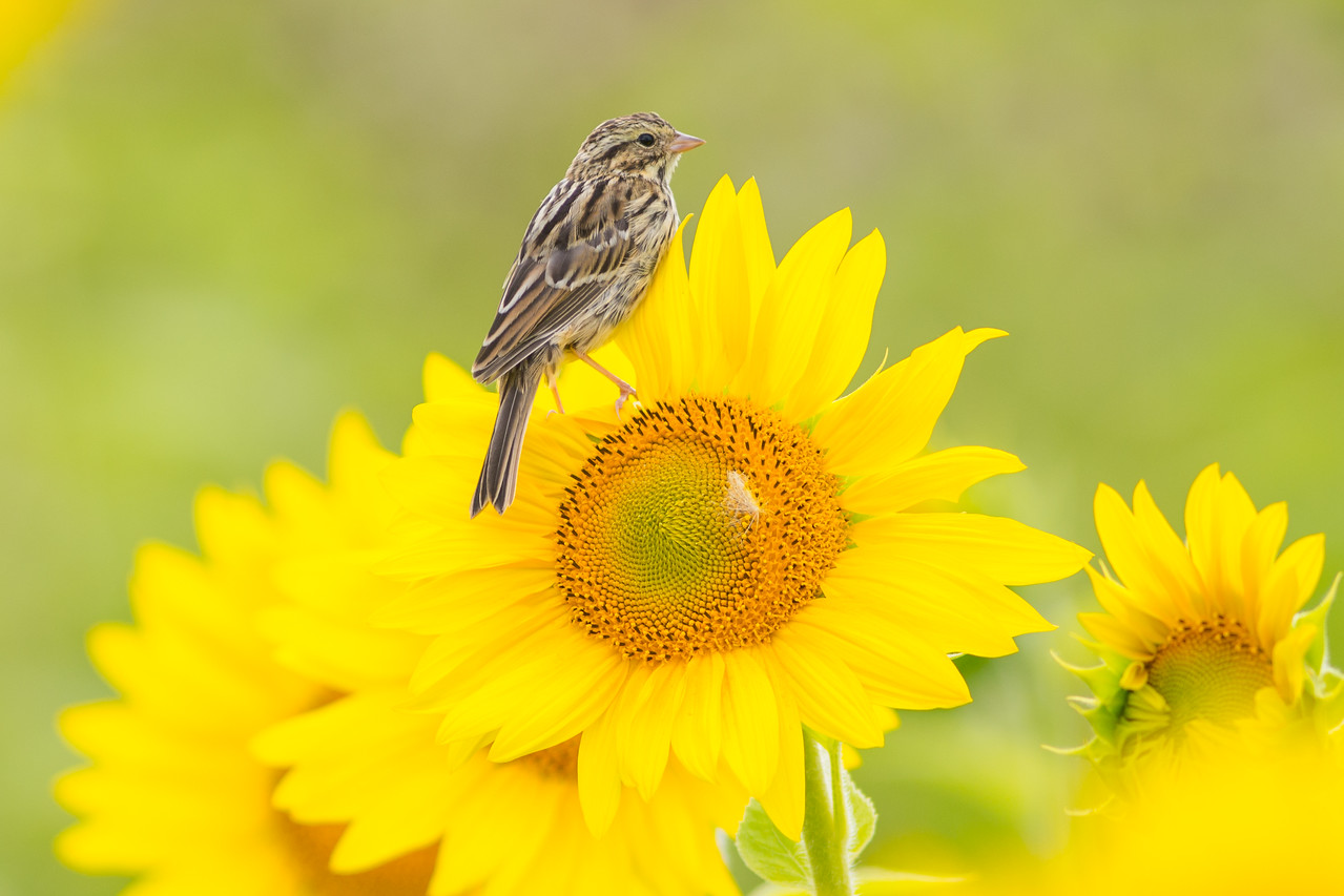 Sparrow in the Sunflowers