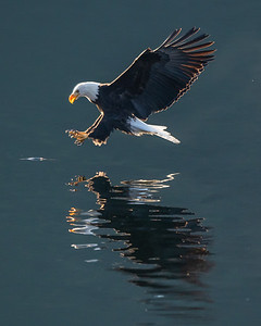 Bald Eagle Abstract Reflections