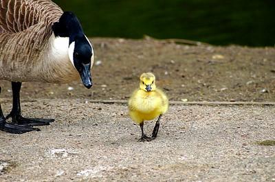 gosling (1 of 1)