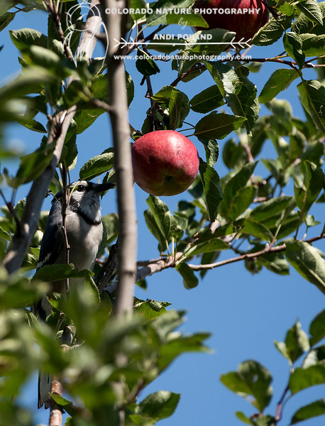 Blue Jay eating Apple