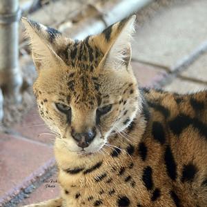 C 92 coaster  serval desat