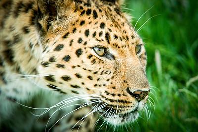 Amur Leopard (Panthera pardus orientalis) Captive