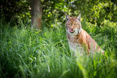 Eurasian Lynx (Lynx lynx) Captive