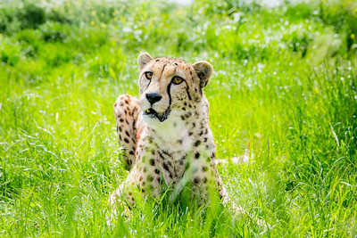 Cheetah (Acinonyx jubatus) Captive
