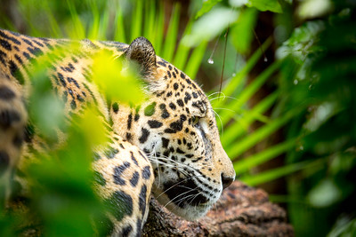 Male jaguar (Panthera onca), Belize, Captive