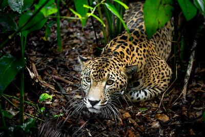 Male jaguar (Panthera onca), Belize, Captive
