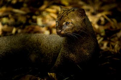 Jaguarundi (Puma yagouaroundi), captive, Belize.