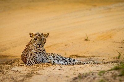 Leopard, (Panthera pardus kotiya) Sri Lanka, Yala National Park