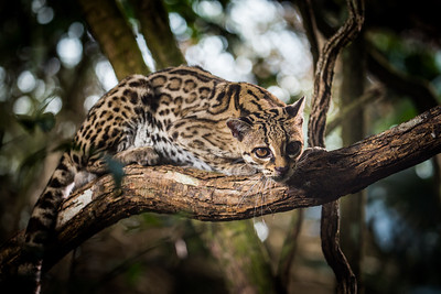 A margay (Leopardus wiedii), central America - known as the monkey cat, they can leap as far as 4 metres from tree to tree, and can rotate their ankles by 180 degrees to enable them to walk vertically downwards.