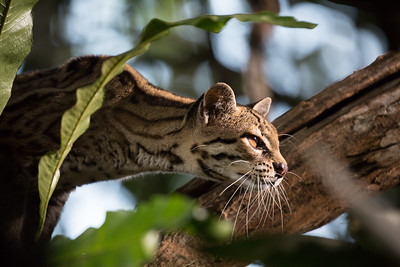Margay (Leopardus wiedii), Central America. Margay are the tree climbing experts of the cat world. They can clear a gap of nearly 4 with a single jump, whilst high in the forest canopy. But they