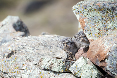 Pallas's cat kitten (Otocolobus manul) Mongolia. June.