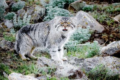 Pallas's cat (Otocolobus manul) Mongolia. June.