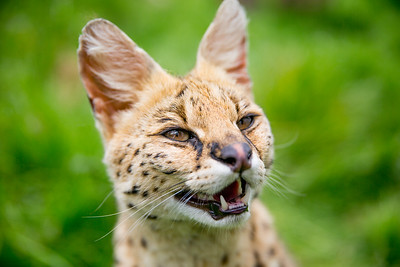 Serval (Leptailurus serval) Captive