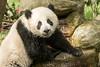 Wet panda cub