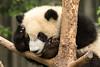 Thoughtful panda