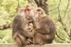 Macaque trio