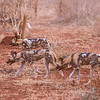 Wild dog aka African painted dog or Cape hunting dog