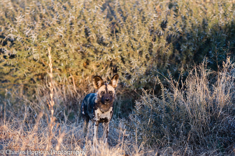 African Wild Dogs also known as African Painted Dogs and Cape Hunting Dogs