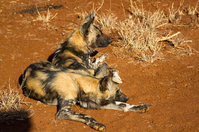 Wild dog aka African painted dog or Cape hunting dog