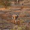 Wild dog aka Cape hunting dog aka painted dog