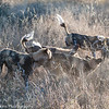 African Wild Dogs also known as African Painted Dogs and Cape Hunting Dogs.