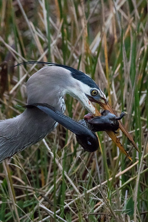 Great blue heron with greater siren