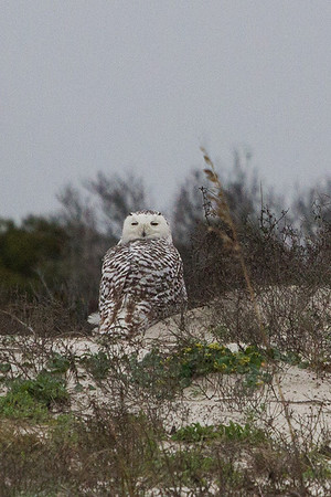 Juvenile snowy owl on Amelia