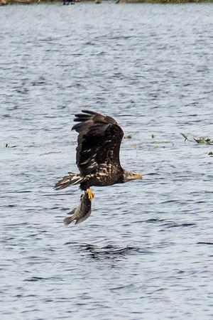 Juvenile bale eagle with fish