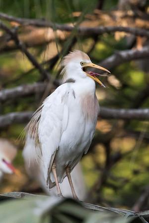 Vocal egret